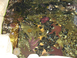 The pool of starfish and anemones at Ecocentro.