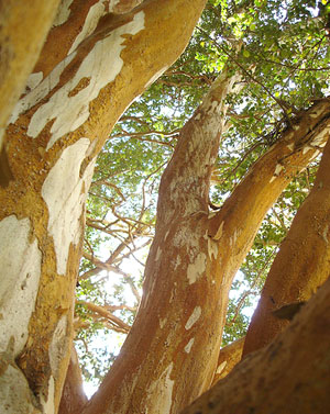 The Arrayanes trees with their smooth, cinnamon colored exterior.
