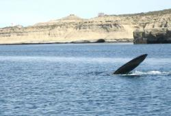 Argentina whale watching
