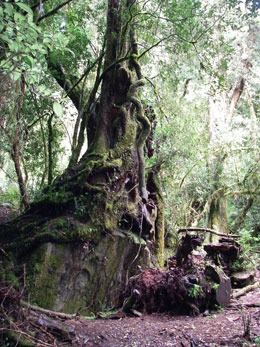 Old growth trees in the forest near Aguas Calientes.