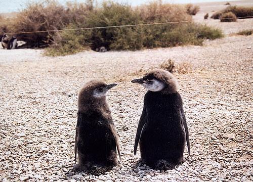 penguin argentina
