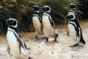 Penguins Argentina