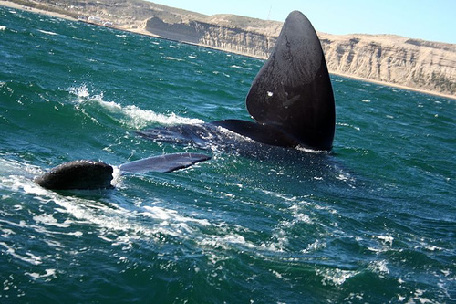 Southern Right Whale Watching Argentina