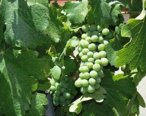 Mendoza Vines, Argentina