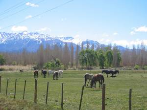 Horses Grazing in Uspallata