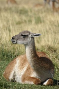 A Lazy Guanaco, Photo by Meike Schuring